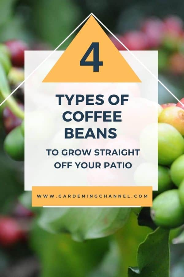 coffee beans with text overlay four types of coffee beans to grow straight off your patio