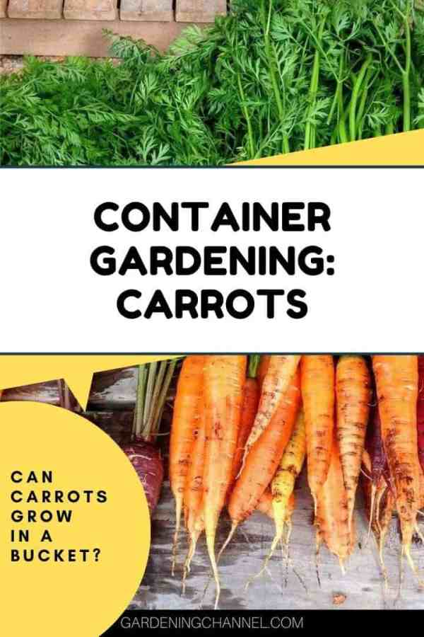 harvested carrots with text overlay container gardening carrots can carrots grow in a bucket