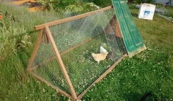 Chicken tractor wtih three chicks