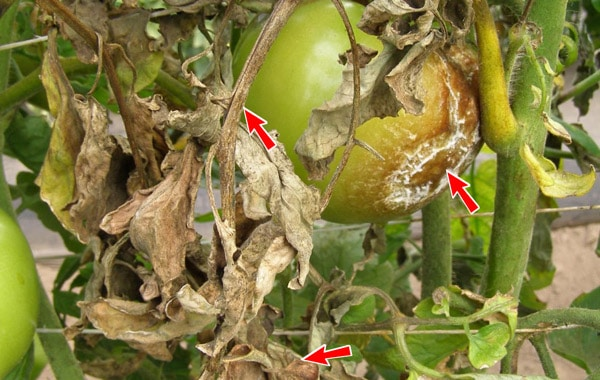 Late blight infects leaves