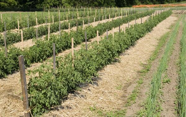Tomatoes Hardwood stakes