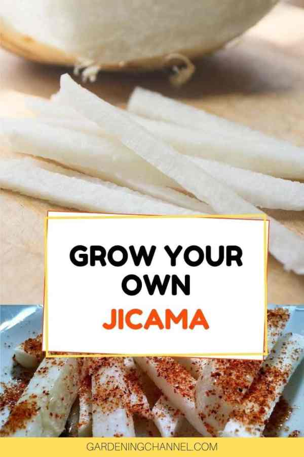 sliced and prepared jicama with text overlay grow your own jicama