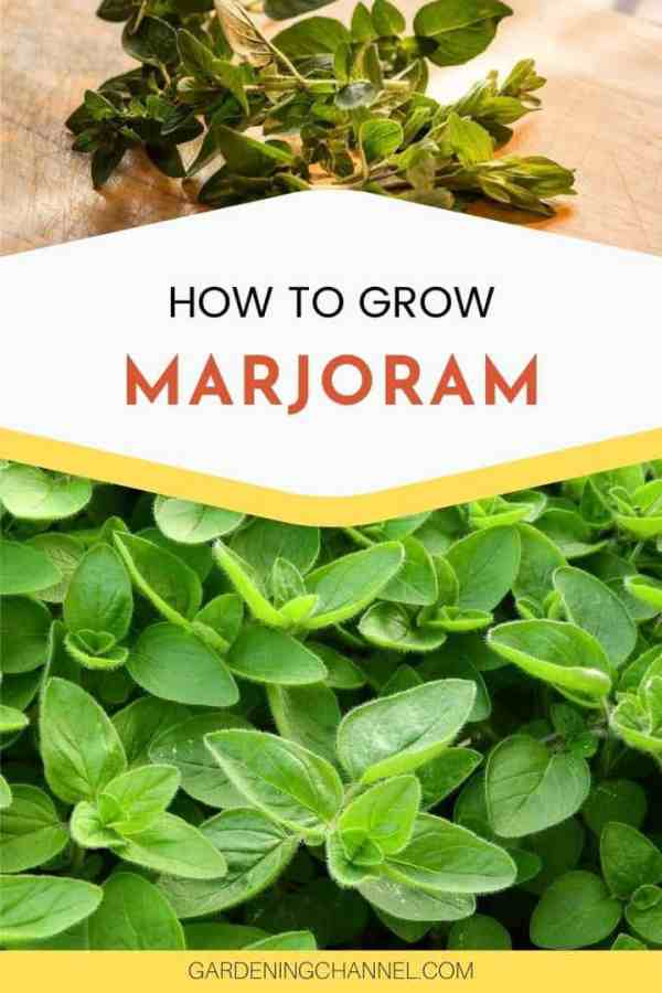 harvested herbs and Marjoram in garden with text overlay how to grow Marjoram