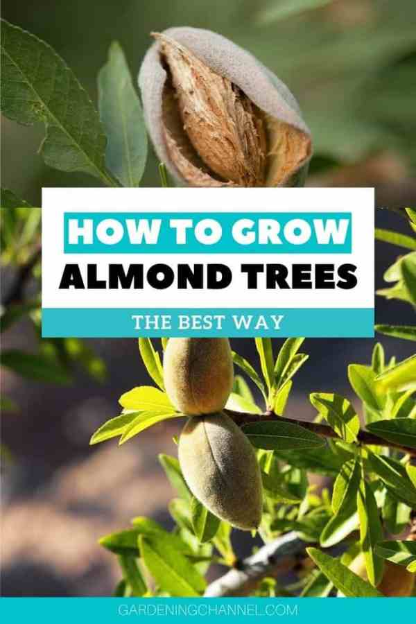 almonds growing on trees with text overlay how to grow almond trees the best way