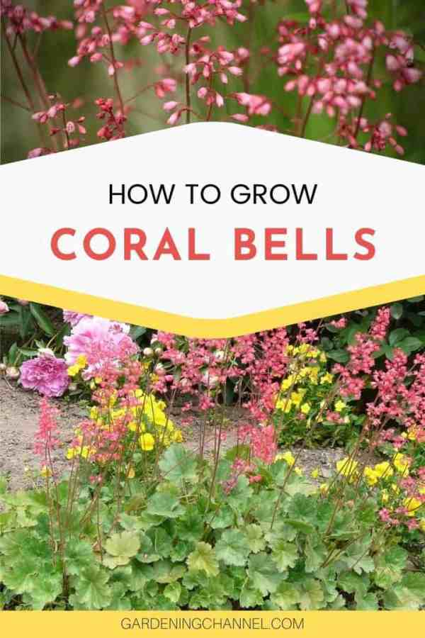coral bell flowers in garden with text overlay how to grow coral bells