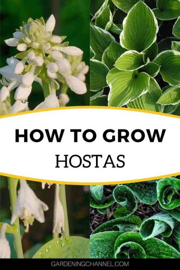 hosta bloom and leaves with text overlay how to grow hostas