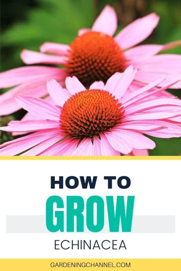 purple echinacea with text overlay how to grow echinacea