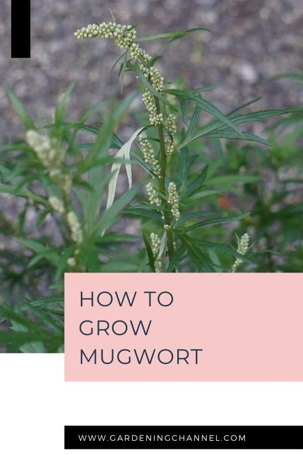 mugwort blooming with text overlay how to grow mugwort