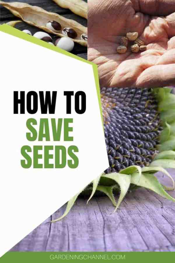 bean flower seeds with text overlay how to save seeds