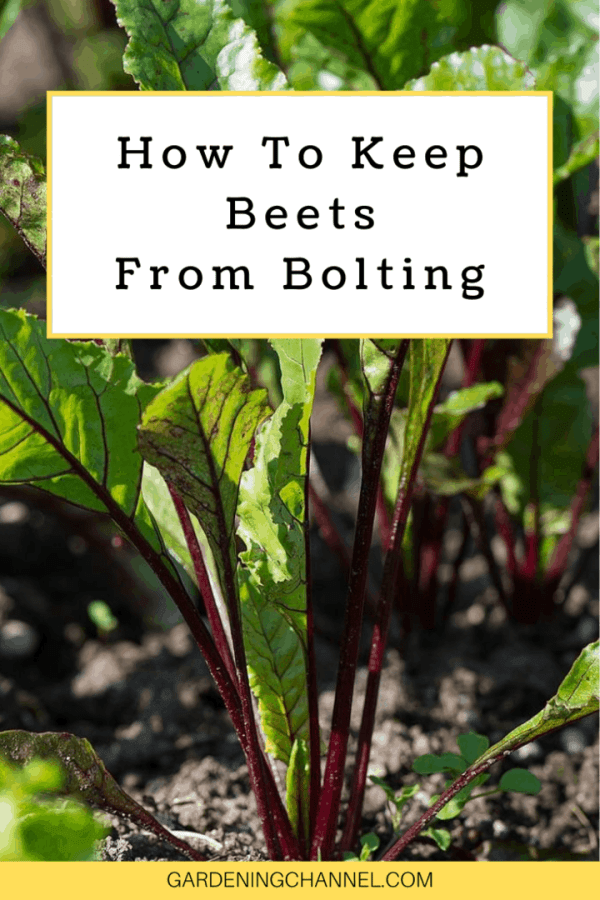 beetroot plant with text overlay how to keep beets from bolting