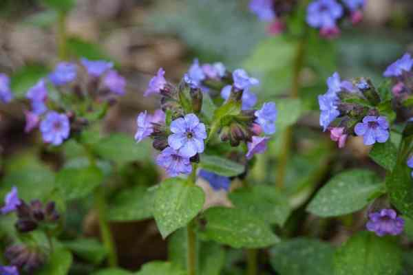 lungwort pulmonaira growing