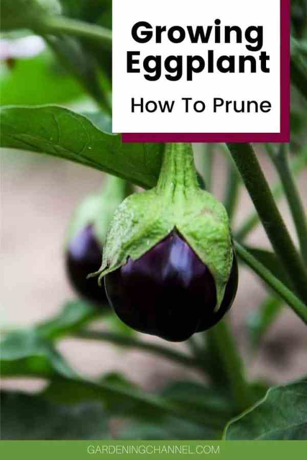 eggplant in garden with text overlay growing eggplant how to prune