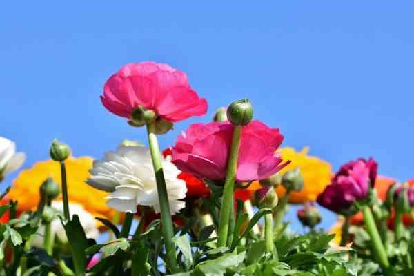 Ranunculus buttercup flowers