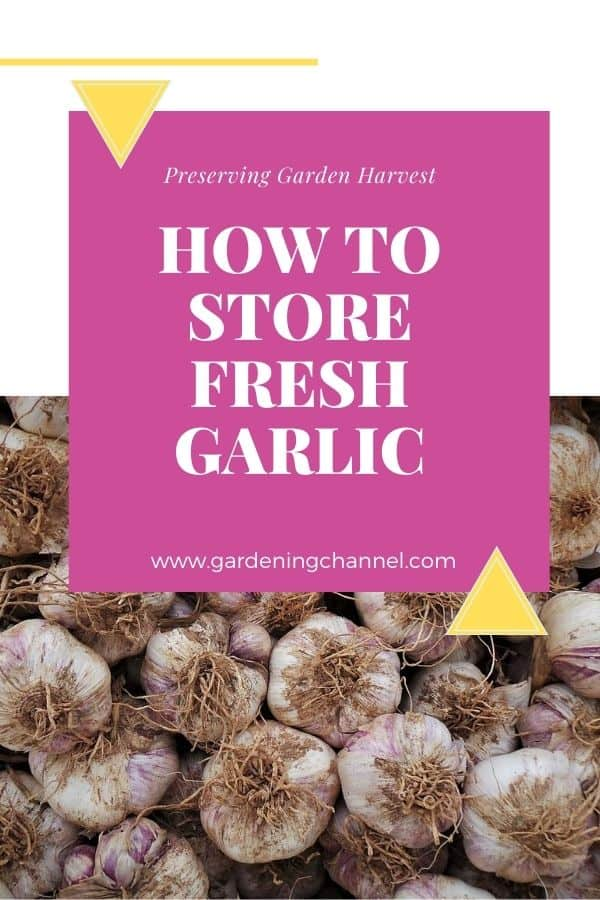 harvested garlic with text overlay preserving garden harvest how to store fresh garlic