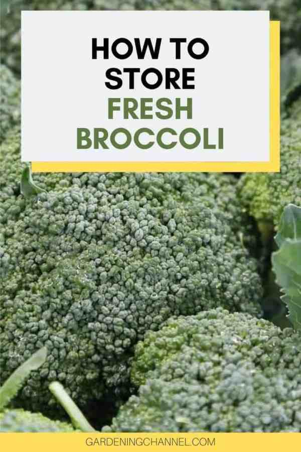 harvested broccoli with text overlay how to store fresh broccoli
