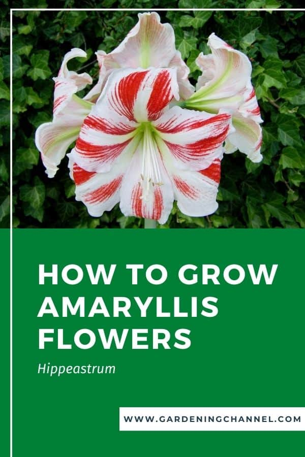 striped hippeastrum with text overlay how to grow amaryllis flowers hippeastrum