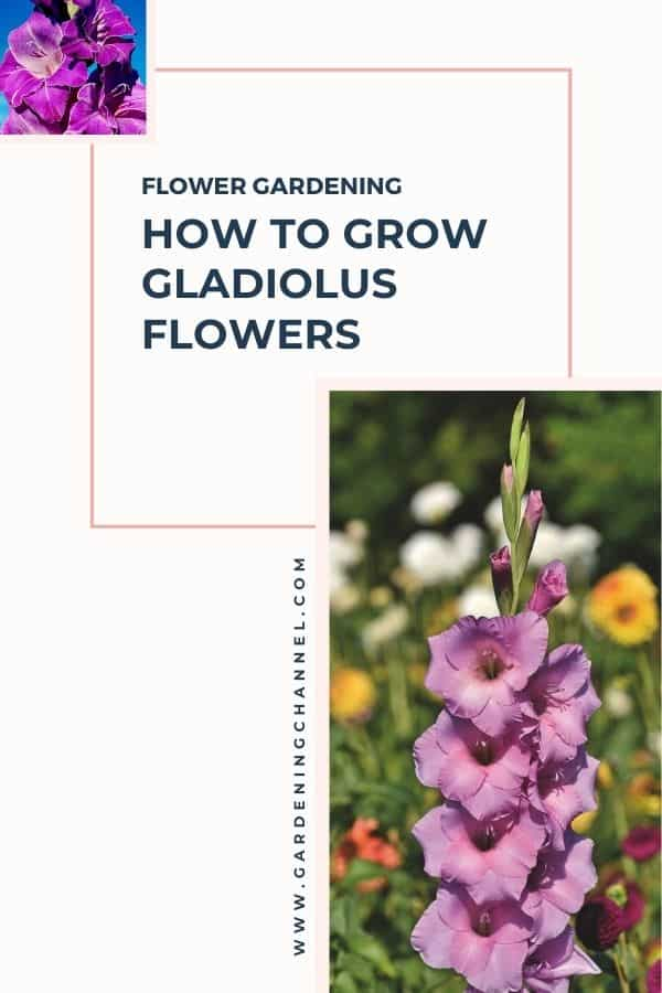 purple and pink gladiolus with text overlay flower gardening how to grow gladiolus flowers