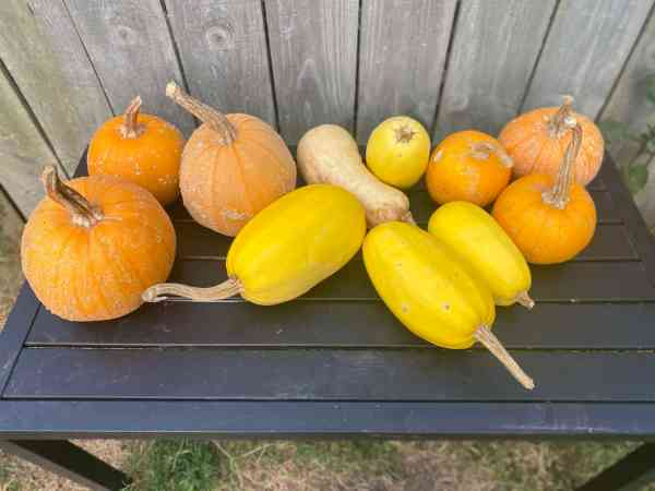 a selection of squash from a garden harvest