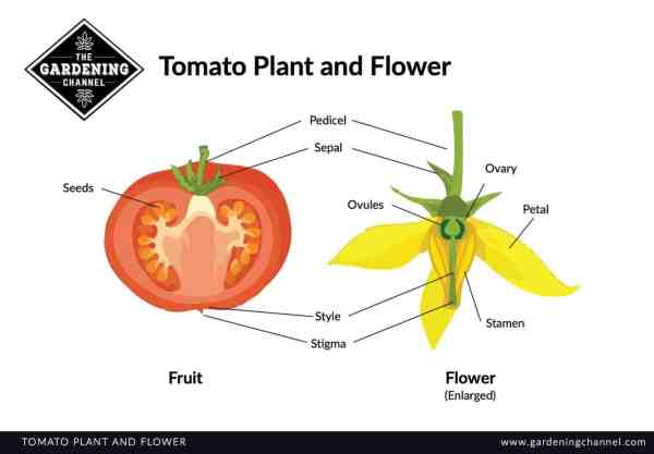 Tomato Plant and Flower