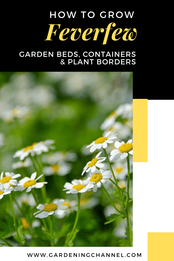 ferverfew with text overlay how to grow feverfew garden beds containers and plant borders