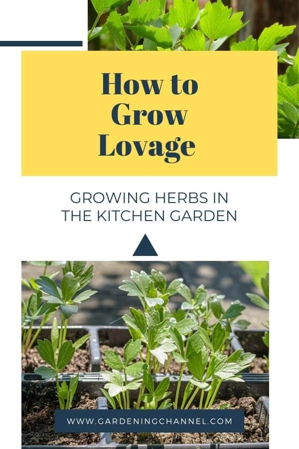 lovage herb seedlings and plant with text overlay how to grow lovage growing herbs in the kitchen garden