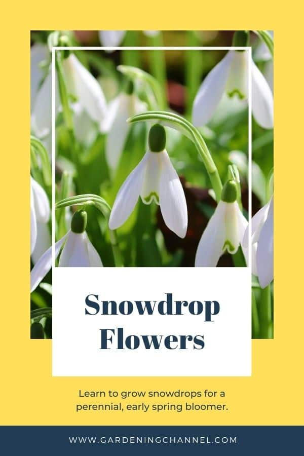 spring snowdrops with text overlay snowdrop flowers learn to grow snowdrops for a perennial early spring bloomer