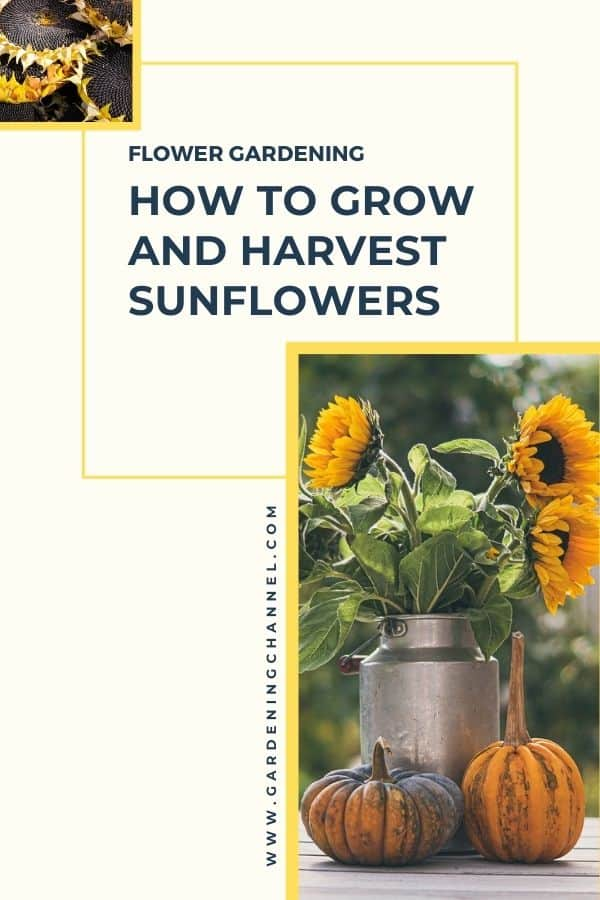 harvested sunflower seeds and cut flowers with text overlay flower gardening how to grow and harvest sunflowers