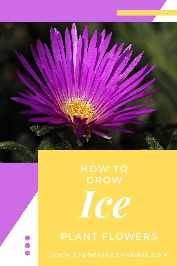 purple delosperma cooperi with text overlay how to grow ice plant flowers