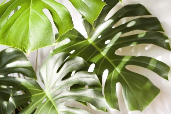 monstera swiss cheese plant