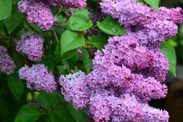 butterfly bush blooming