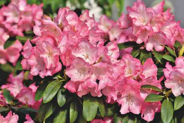Rhododendrons flowering shrub