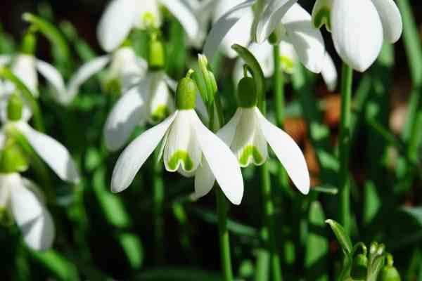 snowdrop flower blooms