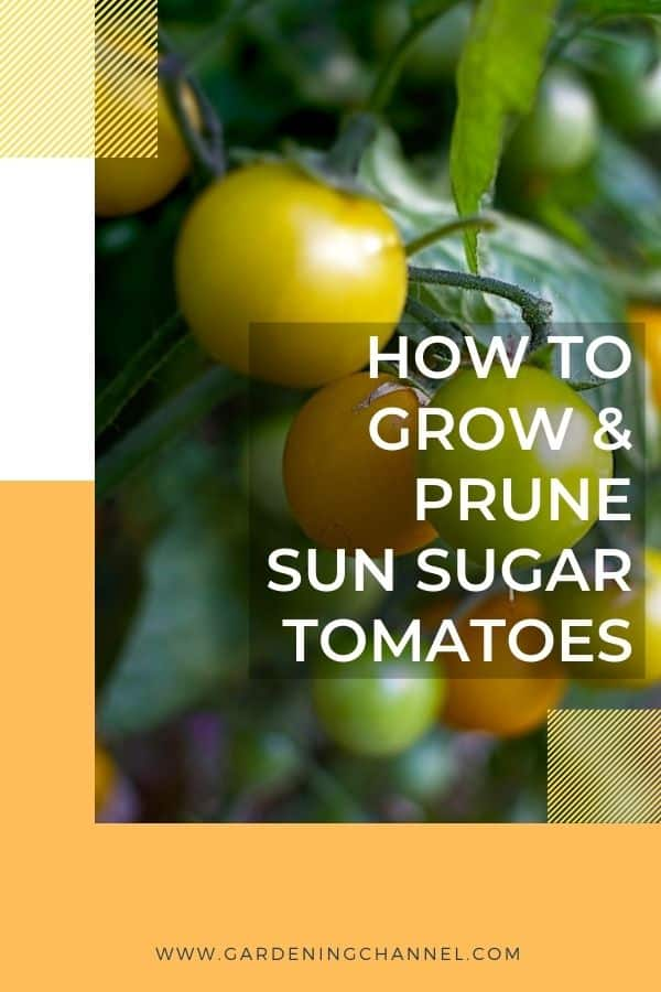 yellow cherry tomatoes with text overlay how to grow and prune sun sugar tomatoes