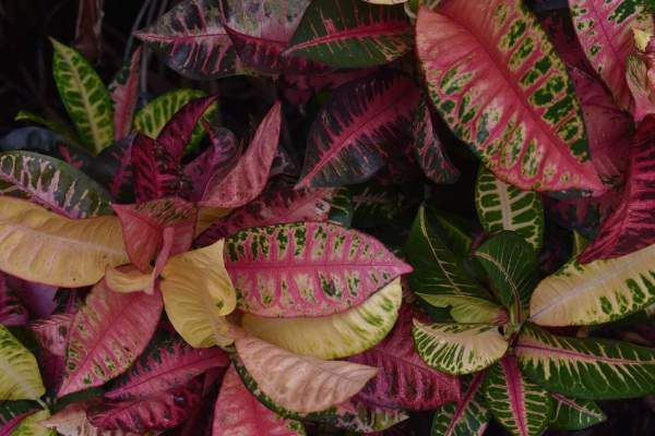 croton plants growing
