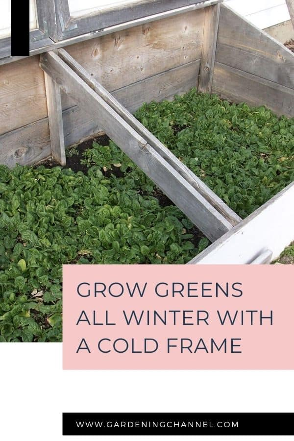 spinach in cold frame with text overlay grow greens all winter with a cold frame