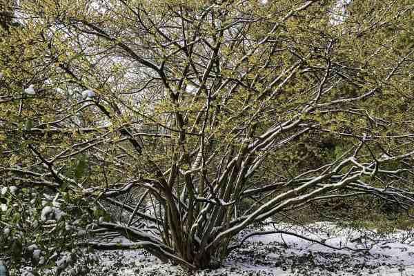 witch hazel shrub in winter