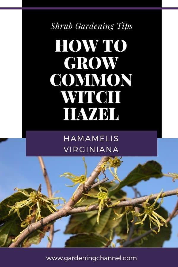 witch hazel with text overlay shrub gardening tips how to grow common witch hazel hamamelis virginiana