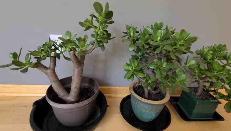 Jade (Crassula ovata)