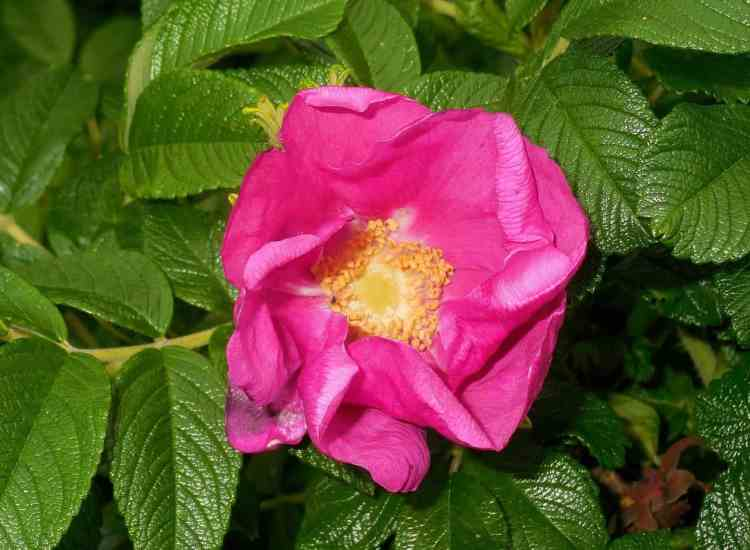 growing Rosa Rugosa