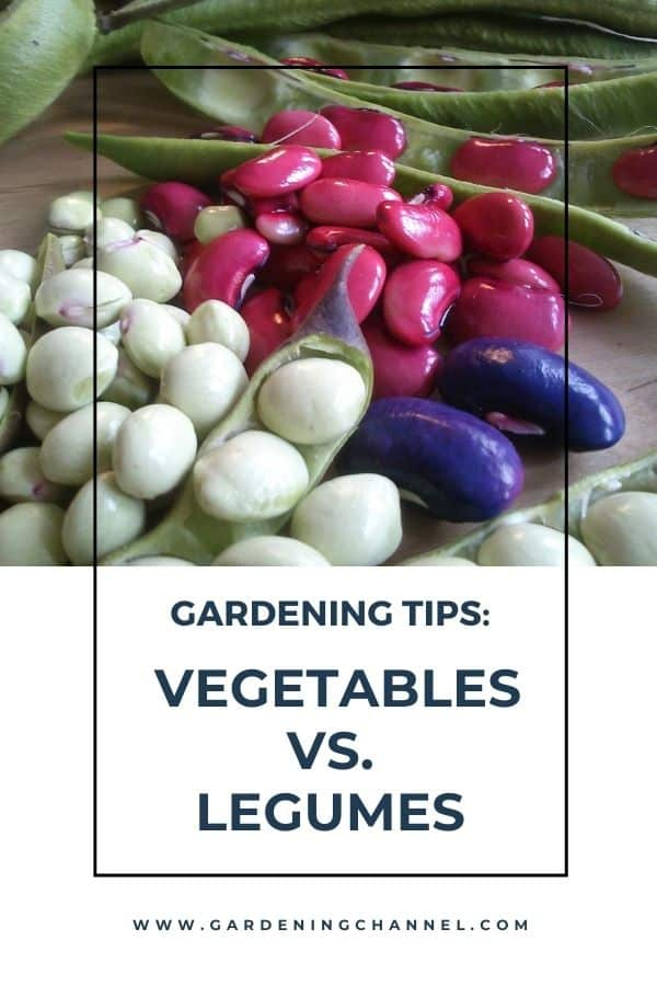 harvested beans from garden with text overlay gardening tips vegetables versus legumes