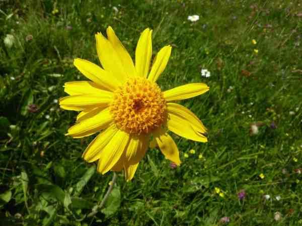 arnica flowering