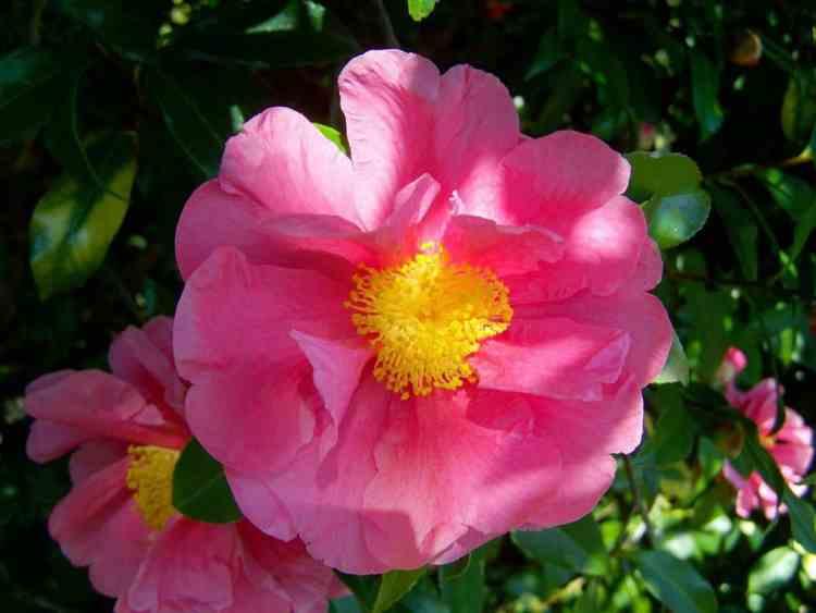 blooming camellia flower