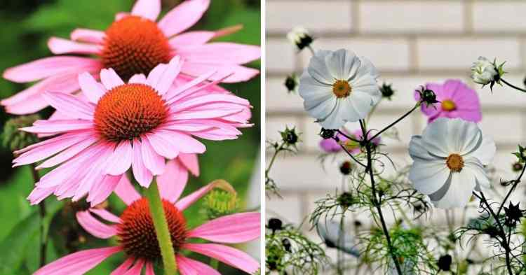 easy to grow flowers coneflower and cosmos