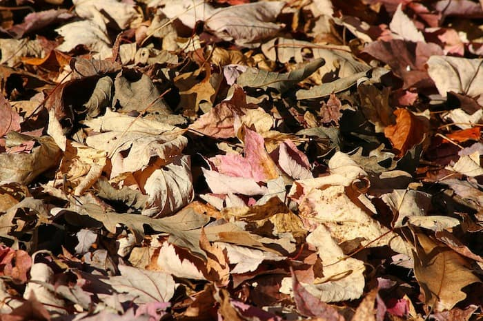dried leaves organic mulch