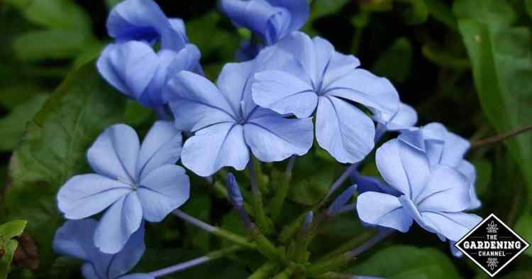 how to grow blue plumbago plant