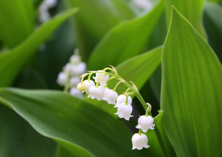 lily of the valley flower blooms