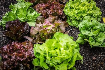 growing lettuce in the garden