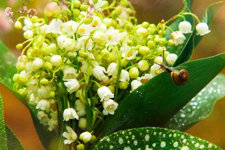 lily of the valley pests