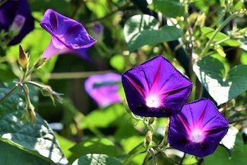 growing morning glory flowers