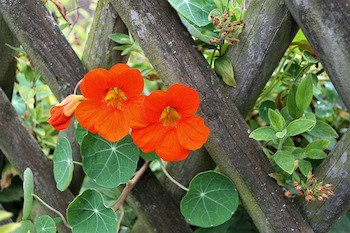growing nasturtiums vertically